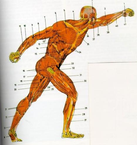 Sistema Muscular. Acción y efecto del masaje